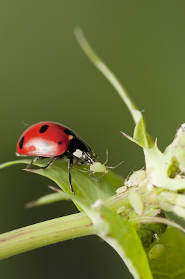 Winter Is Over, But the Aphids Are Coming