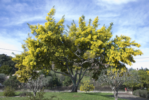 6 Drought-Tolerant Trees to Plant in Your Front Yard