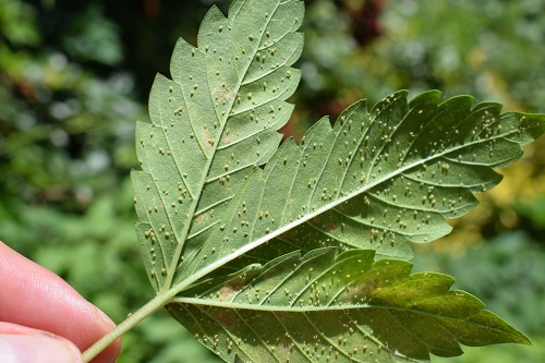 Will Aphids Kill Trees - Oregon Tree Removal