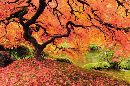 5 Low-Maintenance Trees for Your Yard-Japanese maple