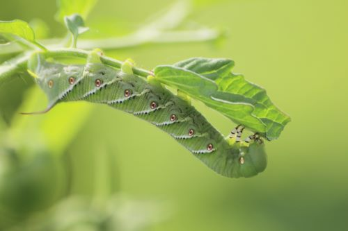 mr-tree-what-bugs-in-oregon-will-be-attracted-to-my-trees-hornworm