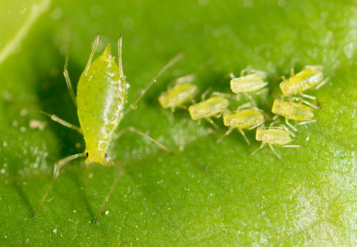 how-to-remove-and-prevent-aphids-on-trees