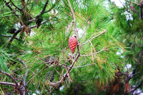 mr-tree-5-conifer-types-of-trees-to-plant-in-your-oregon-yard-ponderosa-pine