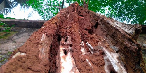 vernon-imel-do-termites-eat-live-trees