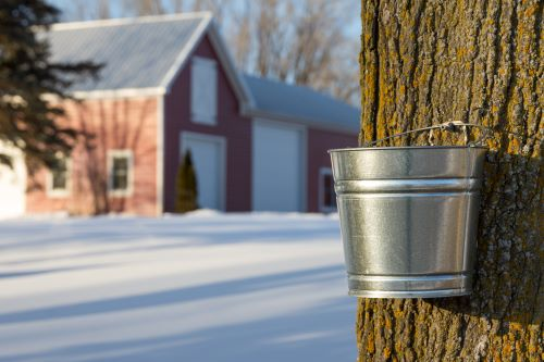 vernon-imel-how-does-maple-tree-sap-become-maple-syrup